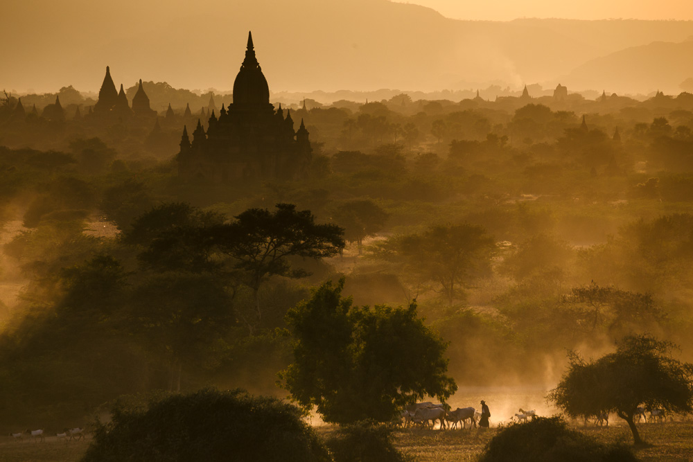 A farmer herds cattle and goats amongst the temples of Bagan, Myanmar