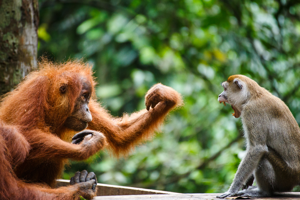 An orangutan and macaque fight over a banana in Gunung Leuser National Park, Sumatra